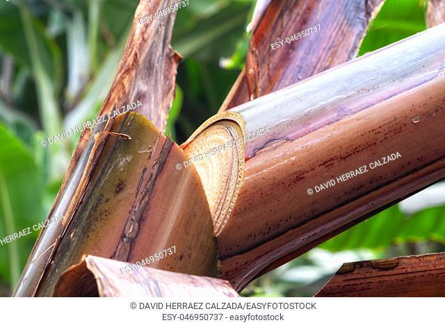 cut in the banana tree trunk in banana plantation