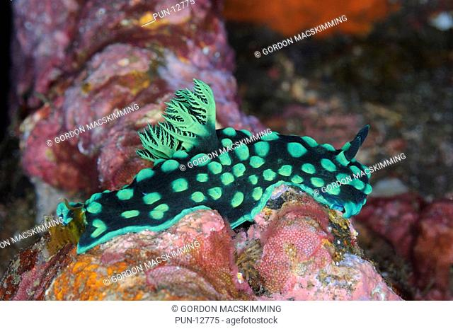 This nudibranch Nembrotha cristata is easily identified by its green and black colouration It feeds on sea squirts To 60 mm Tropical Indian Ocean to W Pacific