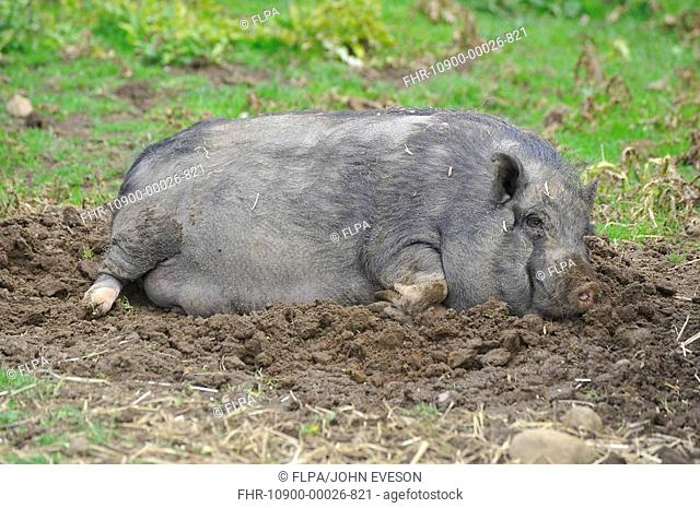 Domestic Pig, Vietnamese Pot-bellied Pig, sow, resting on mud in paddock, England, july