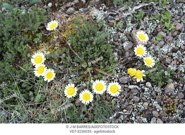 Crisantemo palido (Leucanthemopsis pallida) is a perennial herb endemic to Spain. This photo was taken in Guadalajara province, Castilla-La Mancha, Spain