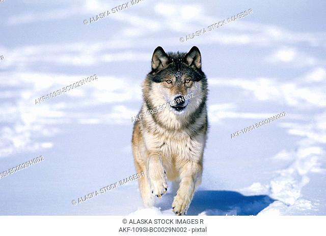 Wolf Walking in Snow Winter