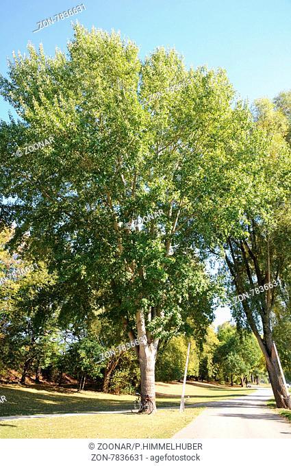 Populus alba, Silberpappel, Silver poplar, große Baum