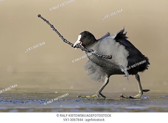 Black Coot ( Fulica atra ) carrying a branch, nesting material, walking on ice, looks funny, wildlife, Europe