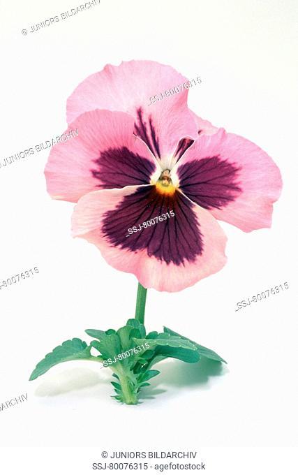 DEU, 2004: Garden Pansy (Viola x wittrockiana), flower, studio picture