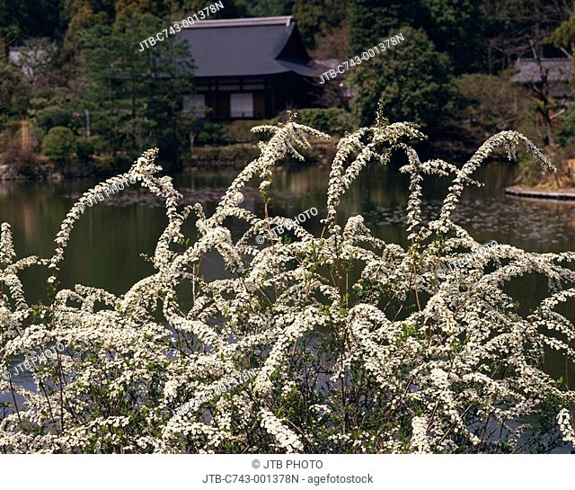 Spiraea thunbergii Kyoyo Pond Ryoan Temple Kyoto Kyoto Japan Pond Temple Temple Flower Plant Tree