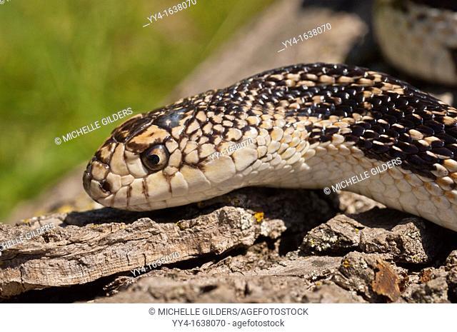 Northern pine snake, Pituophis melanoleucus melanoleucus, native to eastern North America