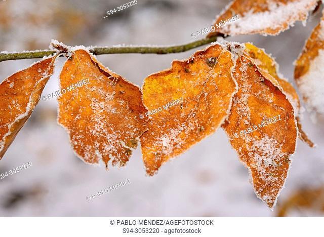 Leaves in La Pedrosa beech wood snowy in la Quesera mountain pass, Riaza, Segovia, Spain