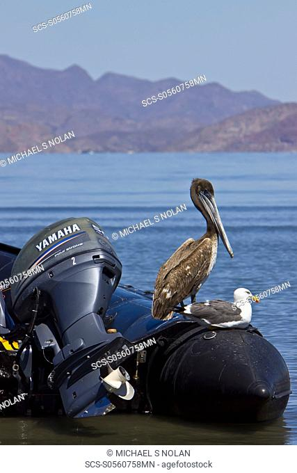 Juvenile brown pelican Pelecanus occidentalis resting on Zodiac in the Gulf of California Sea of Cortez, Baja California Norte, Mexico