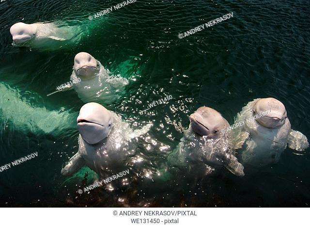 A flock of beluga whales or white whale (Delphinapterus leucas) Sea of Japan, Far East, Primorye, Primorsky Krai, Russia