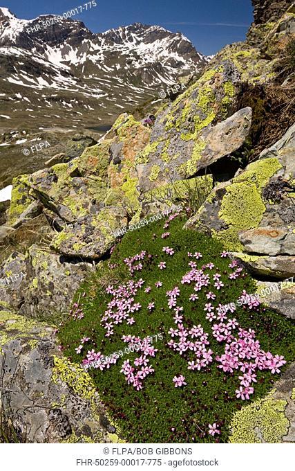 Moss Campion Silene acaulis flowering, growing in mountain habitat, Swiss Alps, Switzerland, june