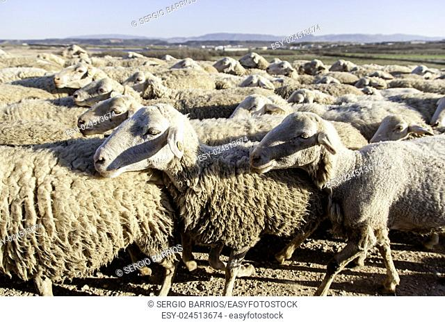 Flock of sheep in the field, detail of farm animals. in Spain