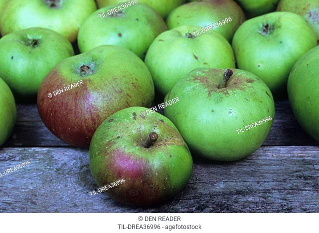 Group of fourteen large green and red cooking apples with some blemishes lined up on wooden bench