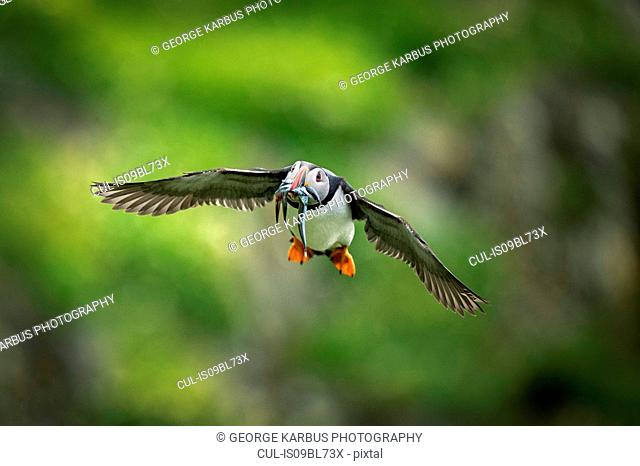 Puffin (Fratercula arctica), in flight with sand eel in mouth, Portmagee, Kerry, Ireland