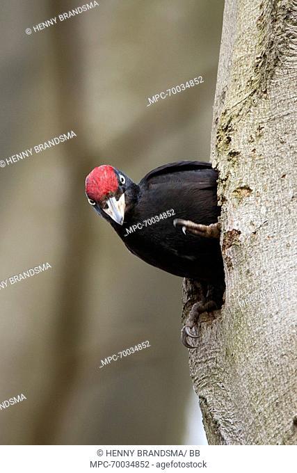 Black Woodpecker (Dryocopus martius) at the entrance of nesthole, Friesland, Netherlands
