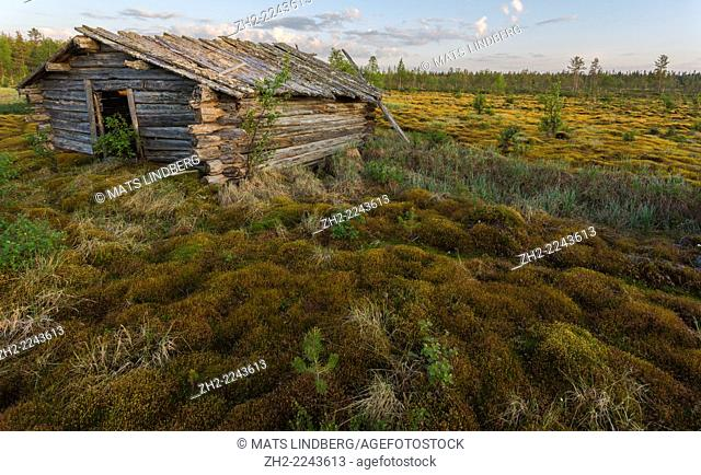 old barn on a moss with many birches around in Gällivare, Swedish lapland