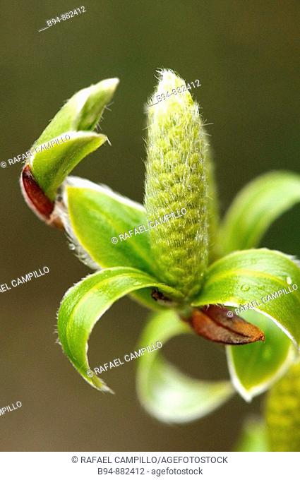 White Willow (Salix alba) catkin. Osseja, Languedoc-Roussillon, Pyrenees Orientales, France