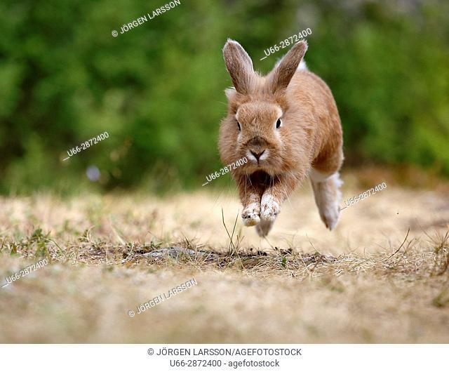 European hare (Lepus europaeus) running through dry grass, Sweden