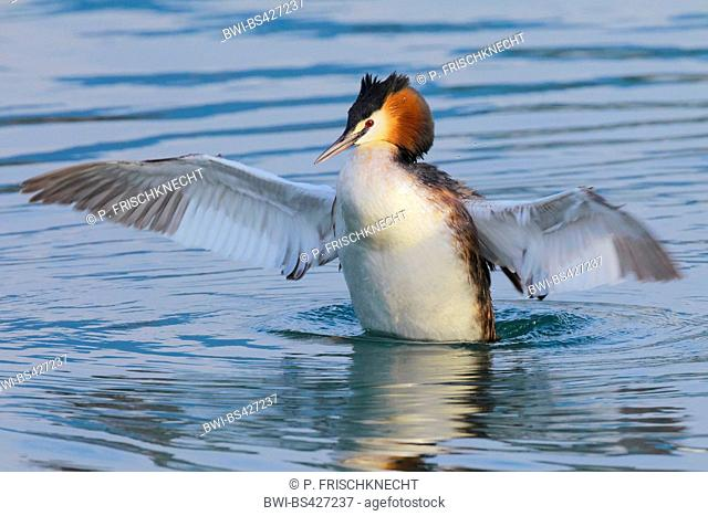 great crested grebe (Podiceps cristatus), flapping wings, Switzerland