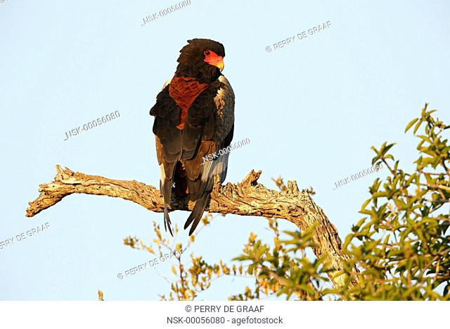 Bateleur Eagle (Terathopius ecaudatus) perched on a branch, South Africa, Mpumalanga, Kruger National Park