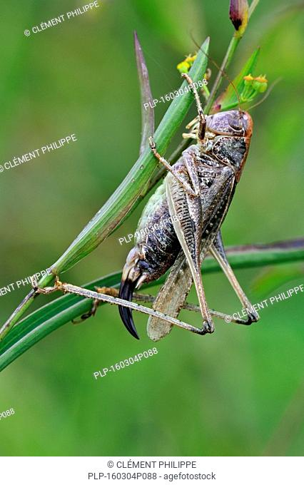 Grey bush cricket (Platycleis albopunctata grisea / Locusta grisea ) female eating prey