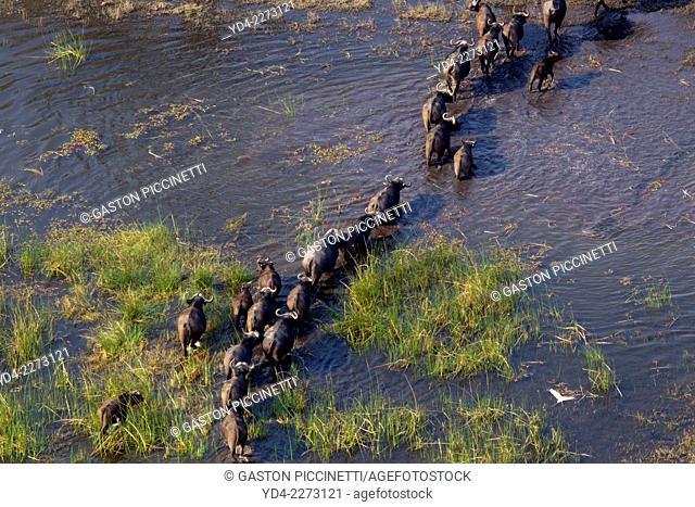Aerial view of African buffalo or Cape buffalos group (Syncerus caffer), crossing the floodplain. Okawango Delta, Botswana