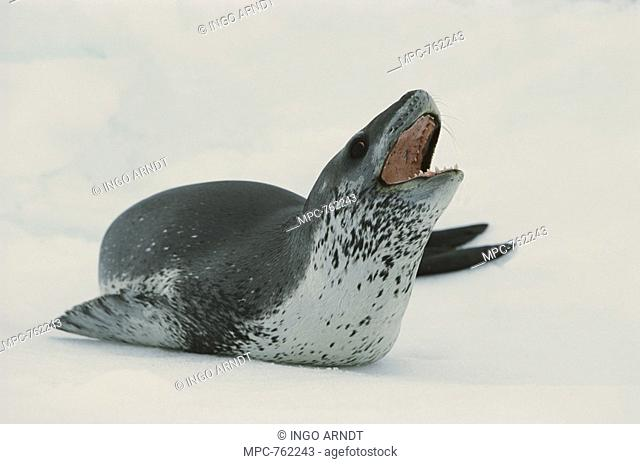 Leopard Seal Hydrurga leptonyx, on ice, calling, Weddell Sea, Antarctica