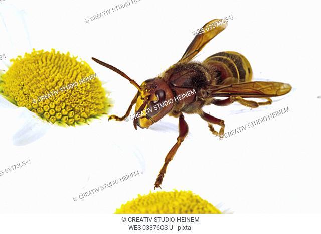 Hornet on marguerite