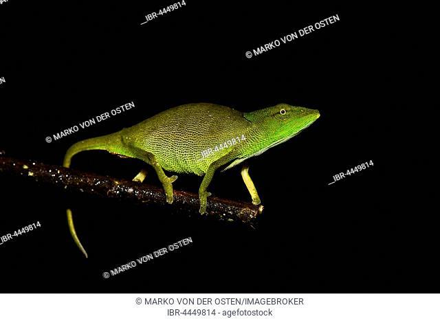 Glaw's chameleon (Calumma glawi), female, Ranomafana National Park, Madagascar