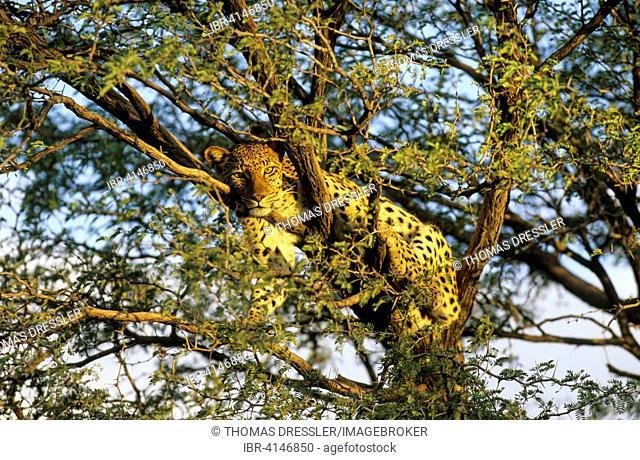 Leopard (Panthera pardus), female, resting in a Camelthorn tree (Acacia erioloba), Kalahari Desert, Kgalagadi Transfrontier Park, South Africa