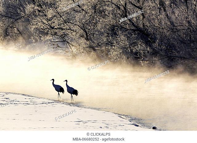 Red crowned cranes from Otowa bridge, Tsurui, Hokkaido, Japan