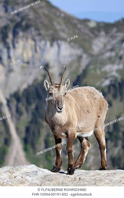 Alpine Ibex Capra ibex adult female, standing on rock, Niederhorn, Swiss Alps, Bernese Oberland, Switzerland, june