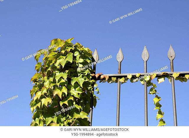 garden fence covered with growing ivy leaves and blue sky