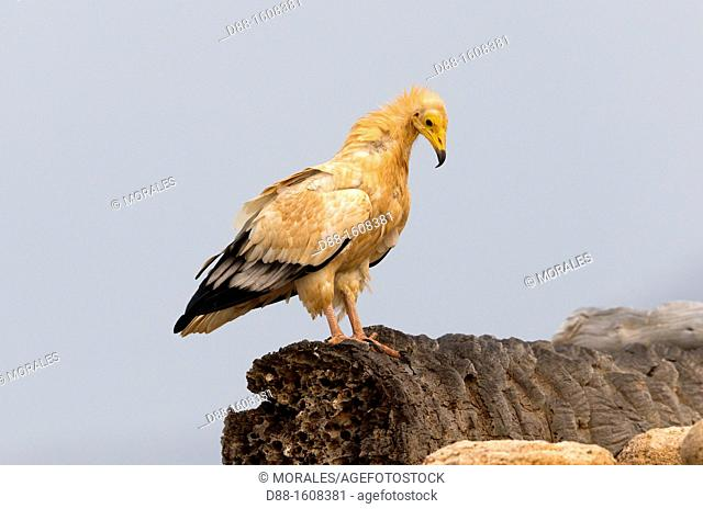 Egyptian vulture (Neophron percnopterus), Socotra island, listed as World Heritage by UNESCO, Aden Governorate, Yemen
