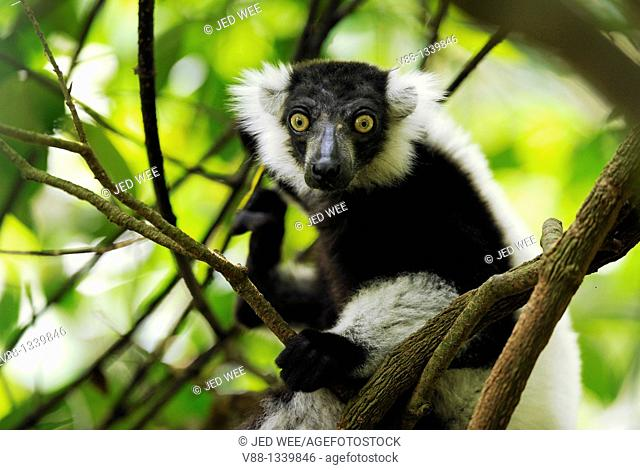 Black-and-white Ruffed Lemur (Varecia variegata), Singapore Zoological Gardens, Singapore