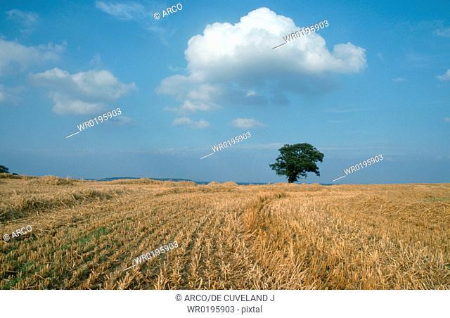 Stubble, field, and, Oak, Funen, Denmark, Quercus, spec