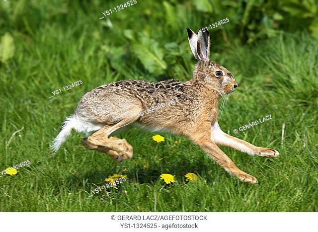 European Brown Hare, lepus europaeus, Adult running on Grass, Normandy