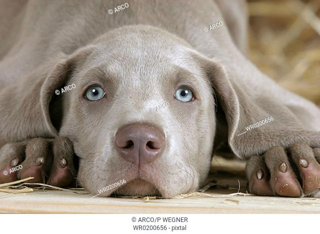 Weimaraner, puppy, 10, weeks