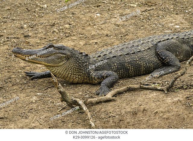 American alligator (Alligator mississipiensis), Smith Oaks Audubon Rookery, High Island, Texas, USA