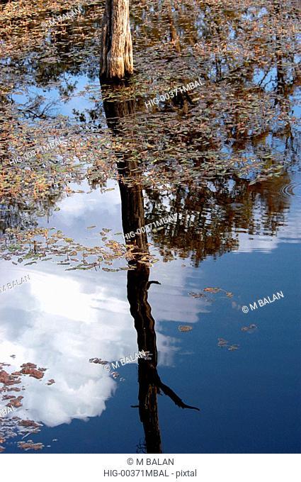 REFLECTION OF TREE STUMPS, KANHA, MADHYA PRADESH