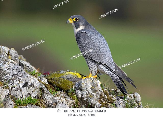 Peregrine Falcon (Falco peregrinus) on plucking spot with Green Woodpecker prey, Swabian Alb, Baden-Wuerttemberg, Germany