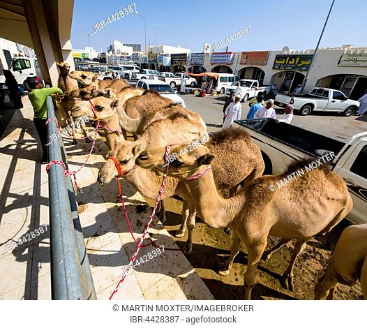 Arabian camels, are dromedaries (Camelus dromedarius) tied to railing, cattle and camel market, Sinaw, Oman