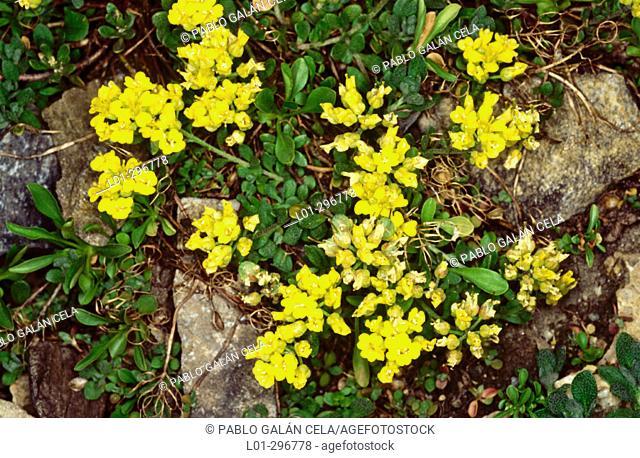 Basket of Gold (Alyssum montanum)