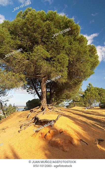 Pine in the lump. Bare-root red earth. The Clod. Huelva. Andalusia. Spain