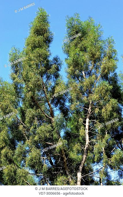 Araar, arar or sandarac (Tetraclinis articulata or Thuja articulata) is a small tree endemic to west Mediterranean region (Atlas mountains