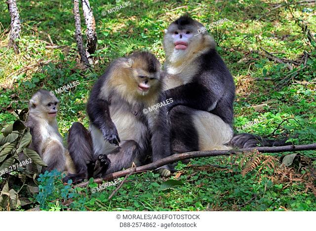 Asia, China, Yunnan province, Yunnan Snub-nosed Monkey Rhinopithecus bieti,