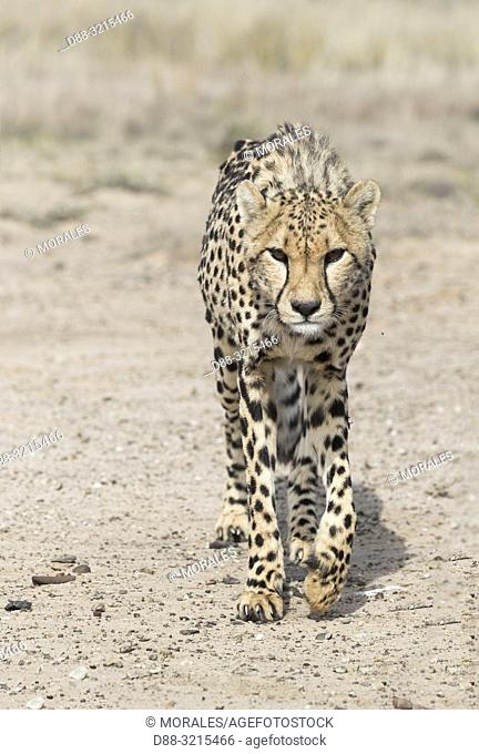 South Africa, Private reserve, Cheetah (Acinonyx jubatus), walking