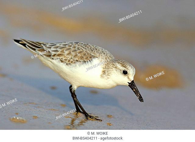 sanderling (Calidris alba), stands on shore, Canary Islands, Fuerteventura