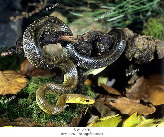 Aesculapian snake Zamenis longissimus, Elaphe longissima, winding around a branch, Germany