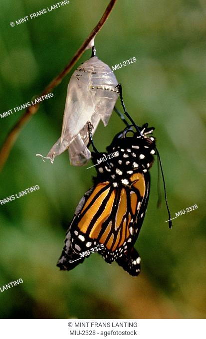 Monarch butterfly emerging from chrysalis, Danaus plexippus, Monterey Bay, California