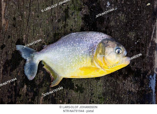 Close-up view of dead piranha